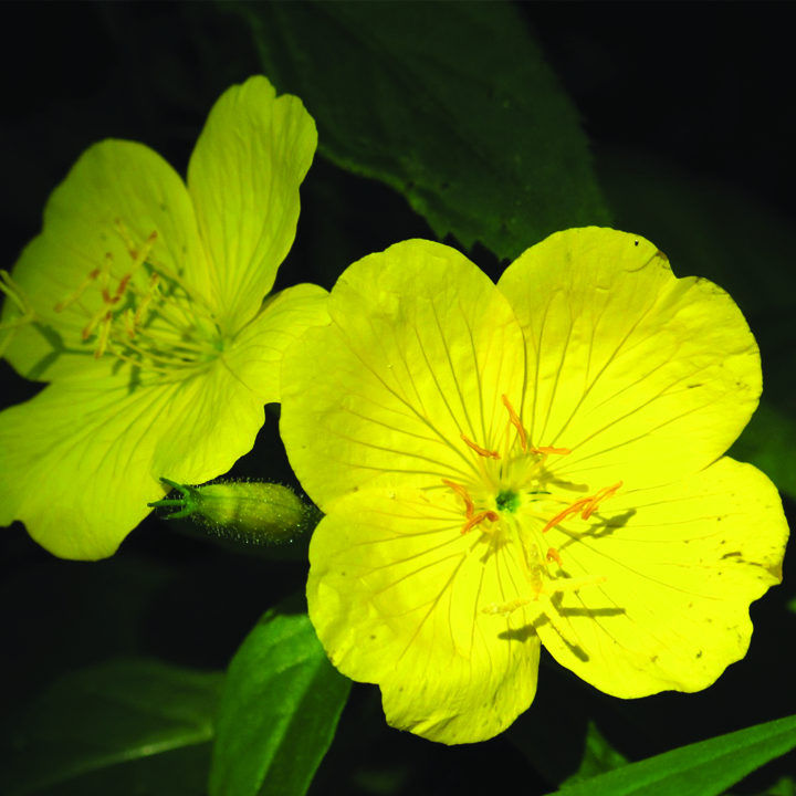 1. Evening Primrose Flowers And Their Healing Properties