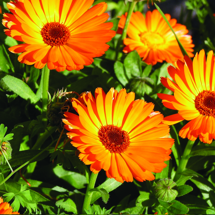 1. calendula Flowers And Their Healing Properties