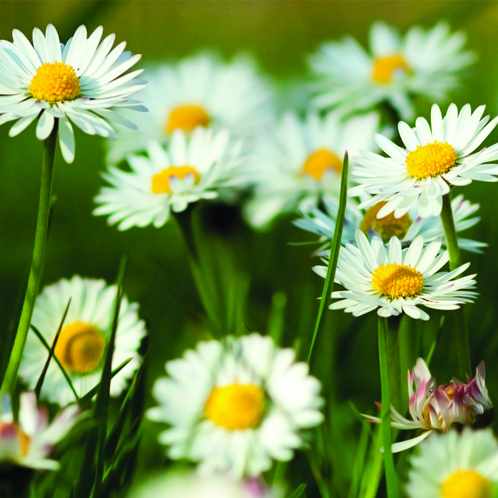 1.Chamomile Flowers And Their Healing Properties