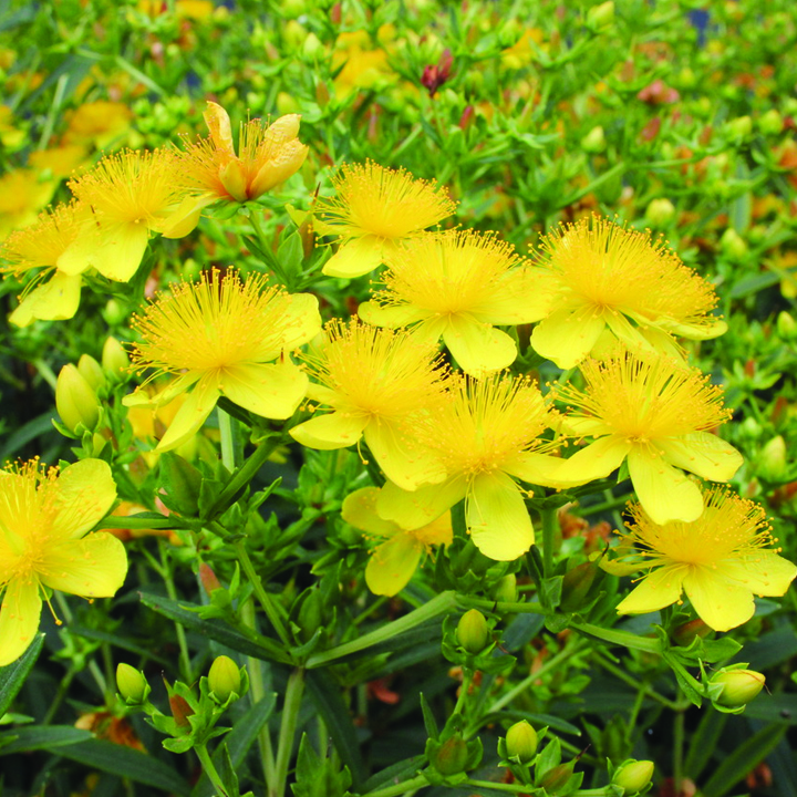 1.stjohnswort Flowers And Their Healing Properties