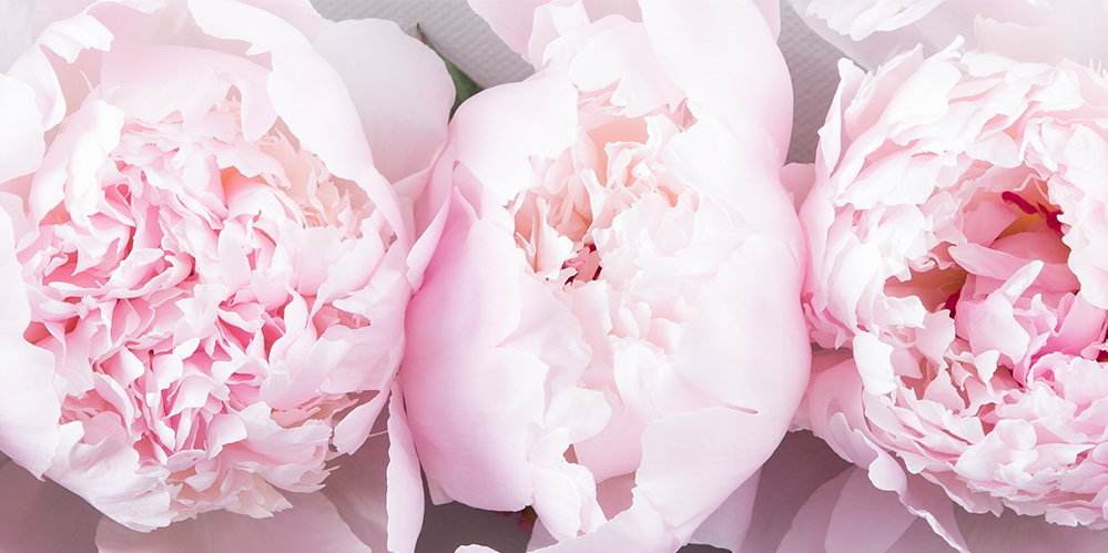 The History Of The Peony Flower