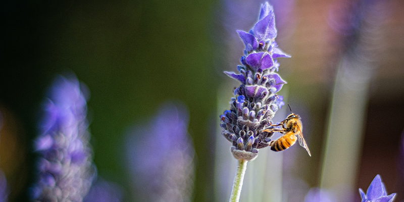 Bee-Friendly Gardens: Flowers that Attract Bees to your Garden