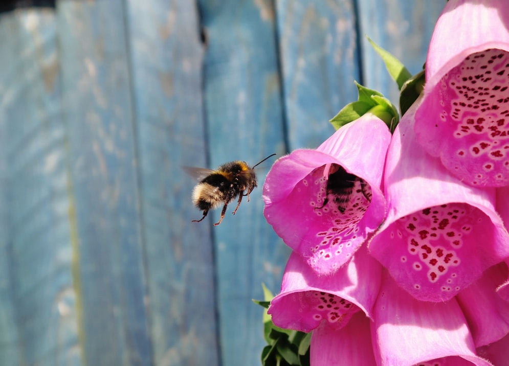Bees hovering over pink foxgloves