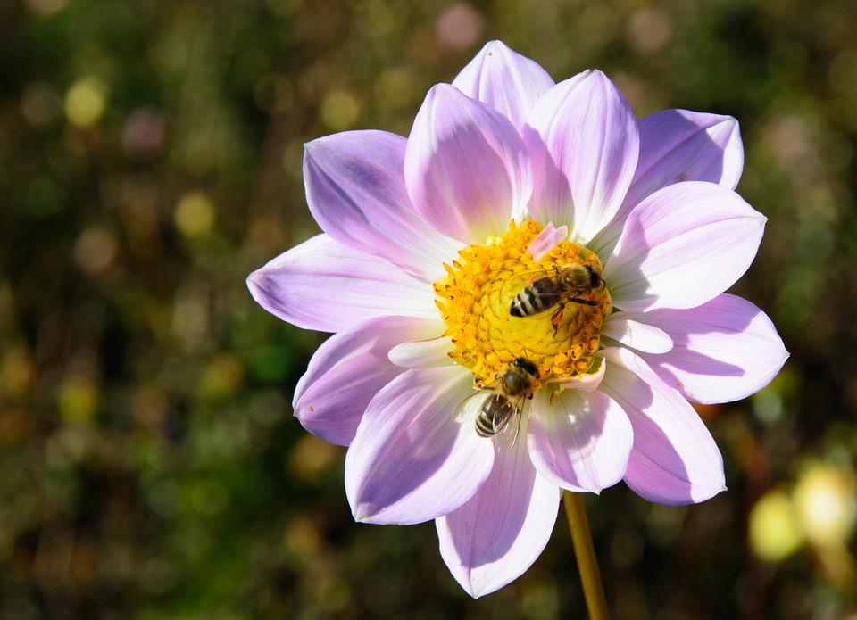 Two bees feeding on lilac dahlia
