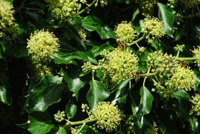 Bees on ivy flowers