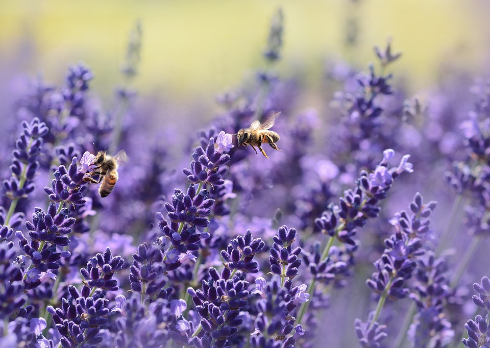 Two bees pollinating lavender