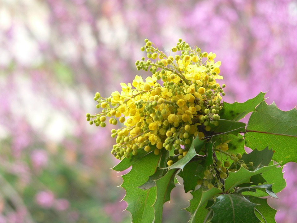 Oreon Grape with yellow flowers