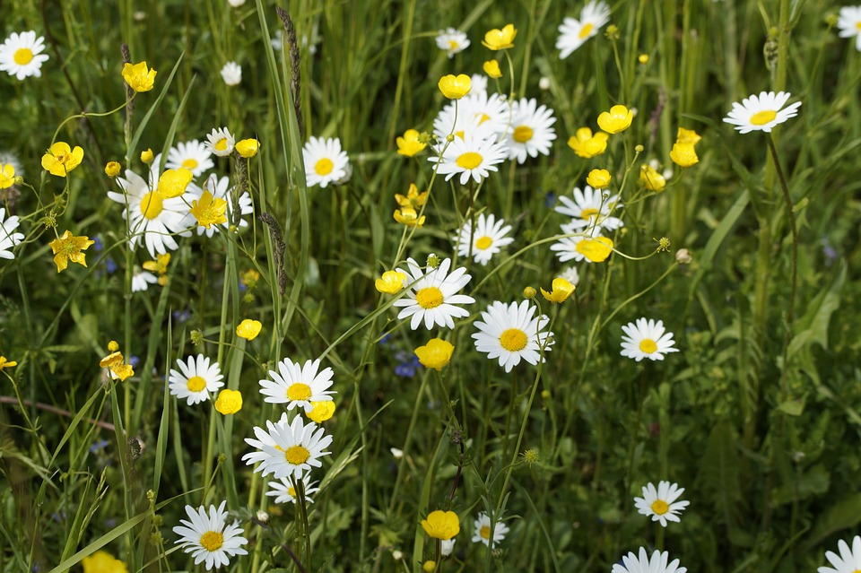 Daisies and buttercups growing in long grass