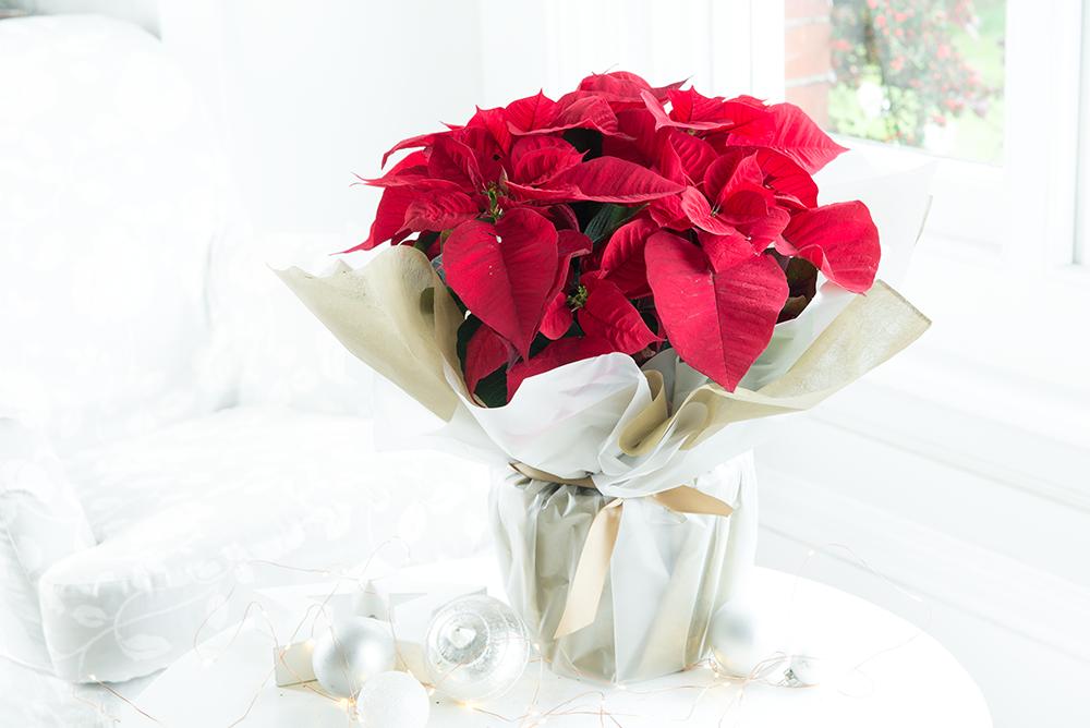 Top 6 Traditional Christmas Flowers Plants Appleyard London