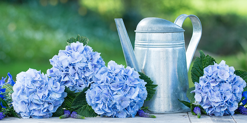 6 Facts You Didn't Know About Hydrangeas