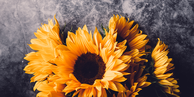 8 Facts You Didn't Know About Sunflowers