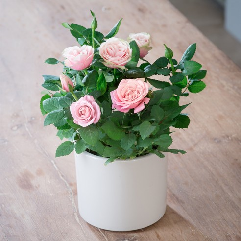 Pink Rose Plant