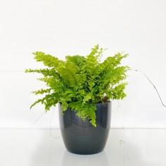 Boston Fern in Ceramic Pot
