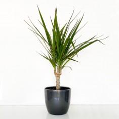 Dracaena marginata House Plant