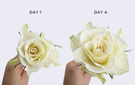 Roses Look Smaller