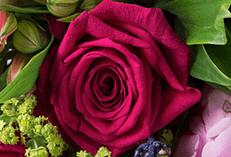 Cerise Roses