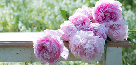 Scented Peonies